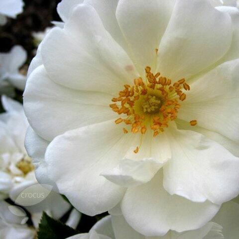 ホワイト 修景バラ
