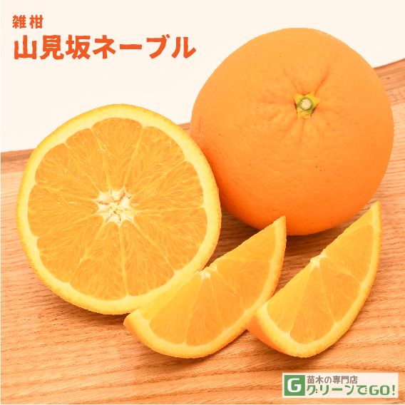 オレンジ 苗木 【山見坂ネーブル】 1年生 接ぎ木 ポット苗