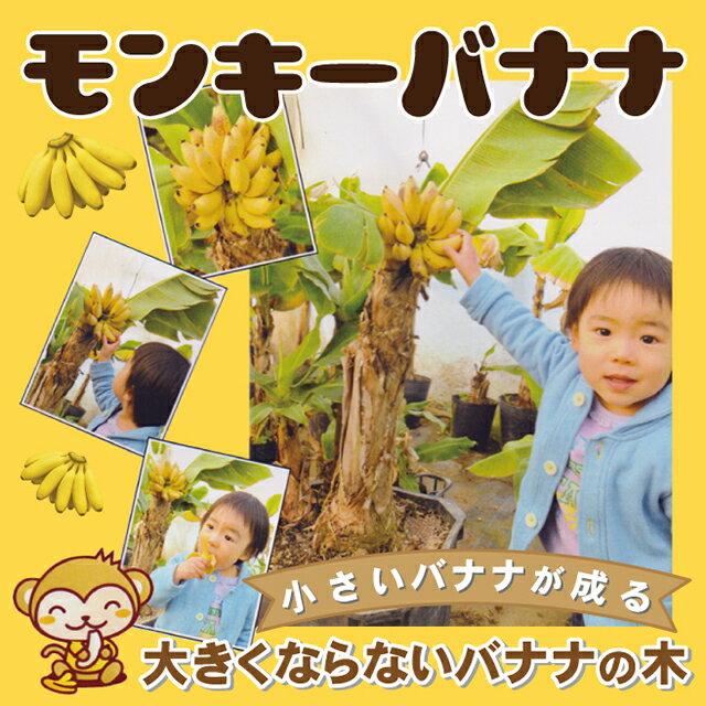 矮性バナナ ドワーフ モンキーバナナ