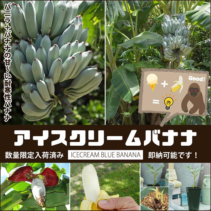バナナ 苗 【アイスクリームバナナ】 1年生 ポット苗