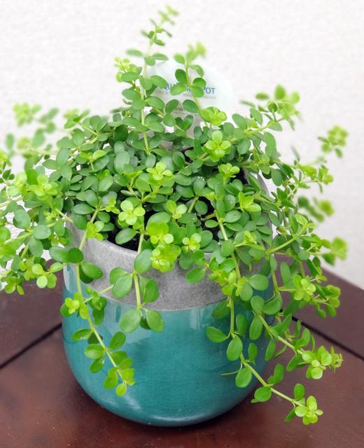 【送料込】 観葉植物ヴェインドロップ 「ペペロミア イザベラ」