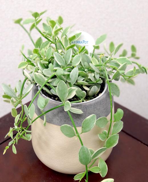 【送料込】 観葉植物ヴェインドロップ 「ディシディアバリエガーダ」