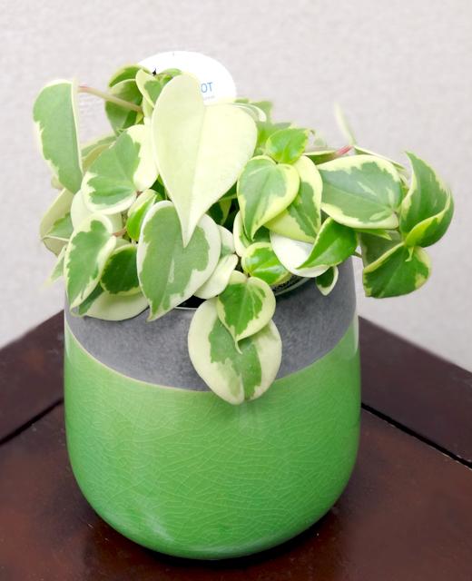 【送料込】 観葉植物ヴェインドロップ 「ペペロミア セルペンス」