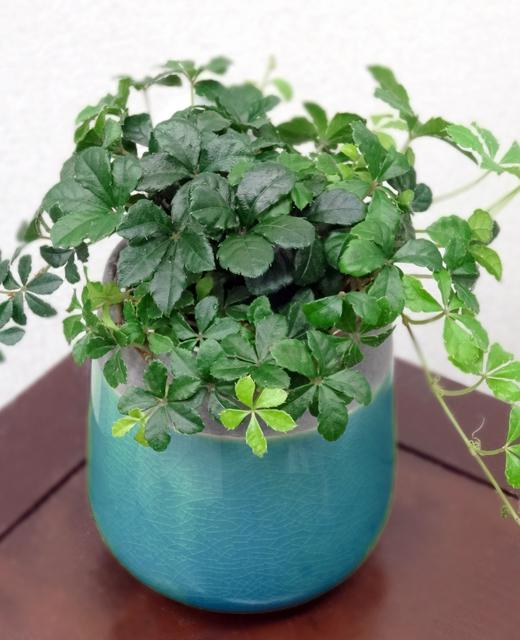 【送料込】 観葉植物ヴェインドロップ 「セノシッサス シュガーバイン」