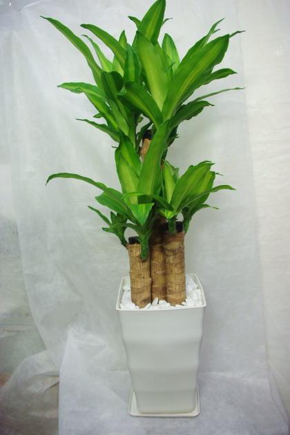 観葉植物 ドラセナマッサンゲアナ(幸福の木)7号鉢
