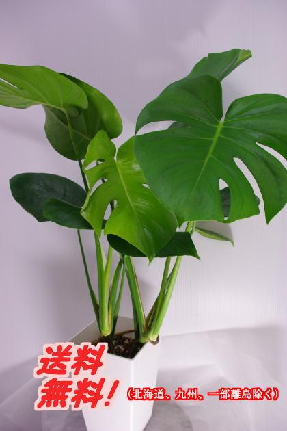 観葉植物 モンステラ6号 送料無料