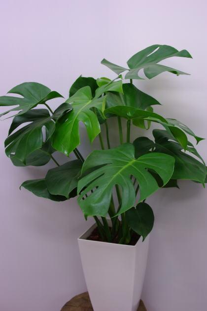 観葉植物モンステラ8号 送料無料