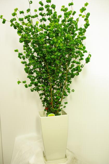観葉植物フィカスバロック