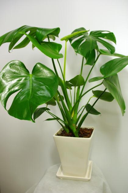 観葉植物モンステラ6号陶器鉢