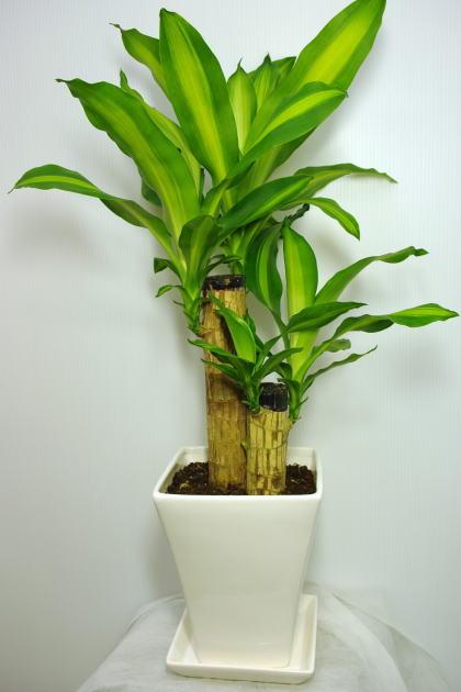 観葉植物ドラセナマッサンゲアナ6号陶器鉢