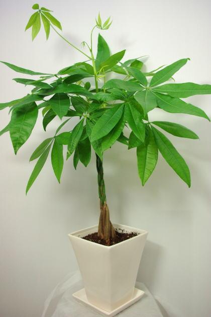 観葉植物 パキラ6号陶器鉢