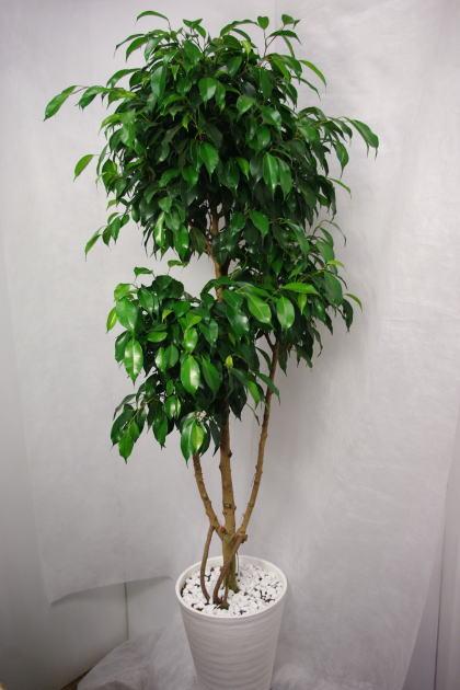 観葉植物 フィカス・ベンジャミナ・ブラック8号