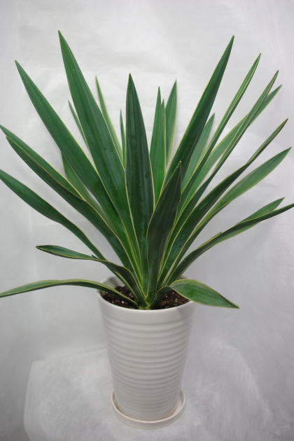 観葉植物 ユッカバリエガータ6号陶器鉢