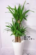 観葉植物 ユッカ(青年の木)7号鉢