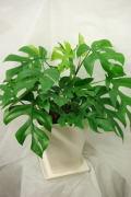 人気観葉植物 姫モンステラ6号陶器鉢