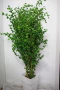 希少観葉植物フィカス・ベンジャミナ・バロック8号