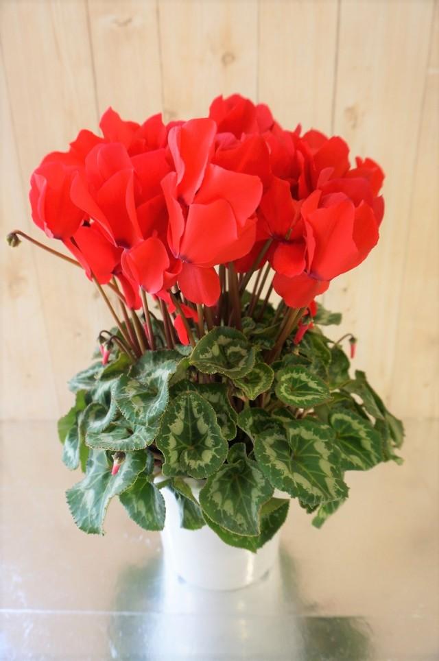 冬の贈り物 『シクラメン・赤』