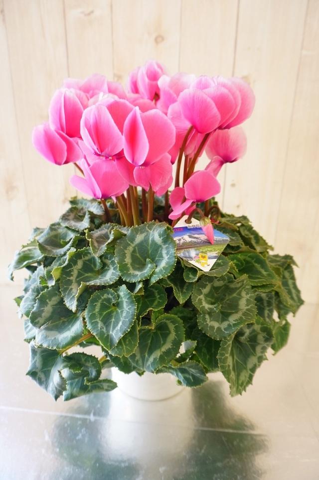 冬の贈り物 『シクラメン・ピンク』