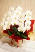 開店祝い各種御祝いにごとに「胡蝶蘭3本立・白」