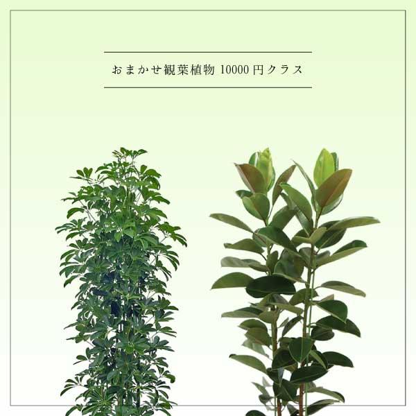 おまかせ観葉植物10000円クラス