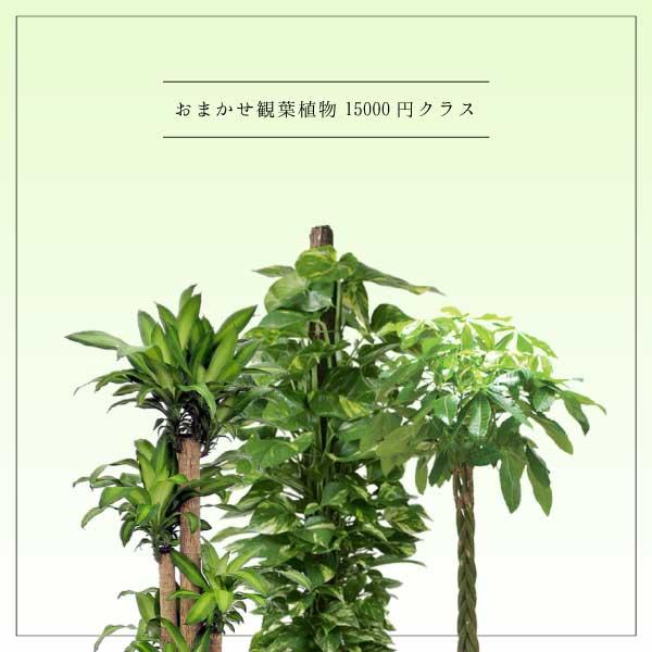 おまかせ観葉植物15000円クラス