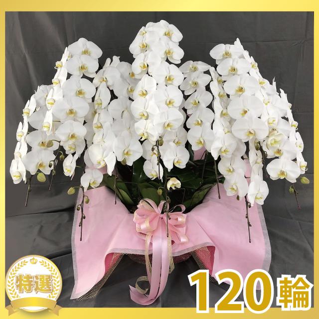 グランプリ大輪胡蝶蘭(10本立ち)