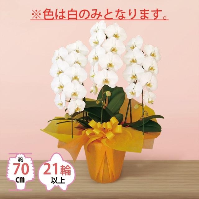 お急ぎ用大輪3本立ち胡蝶蘭20000円