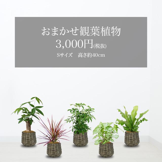 おかませ観葉植物10,000円クラス