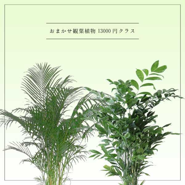 おまかせ観葉植物13000円クラス