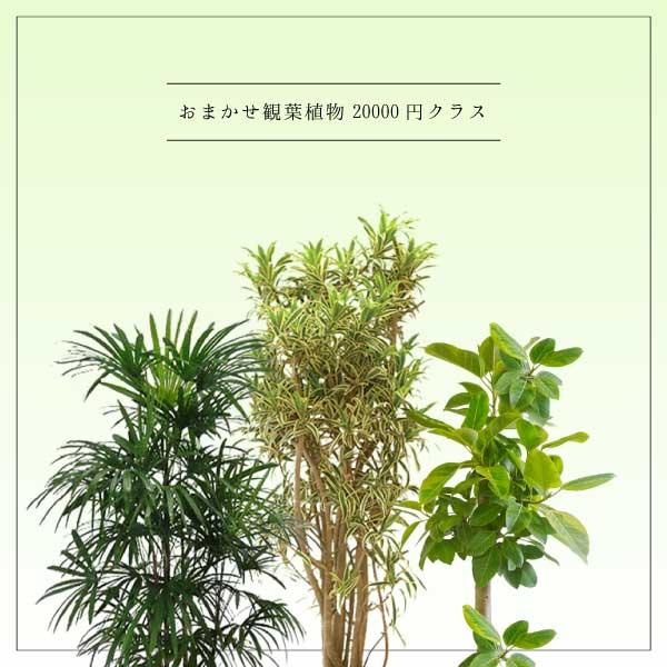 おまかせ観葉植物20000円クラス
