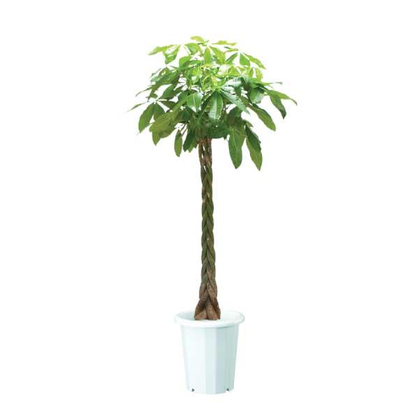 パキラ(発財の木)