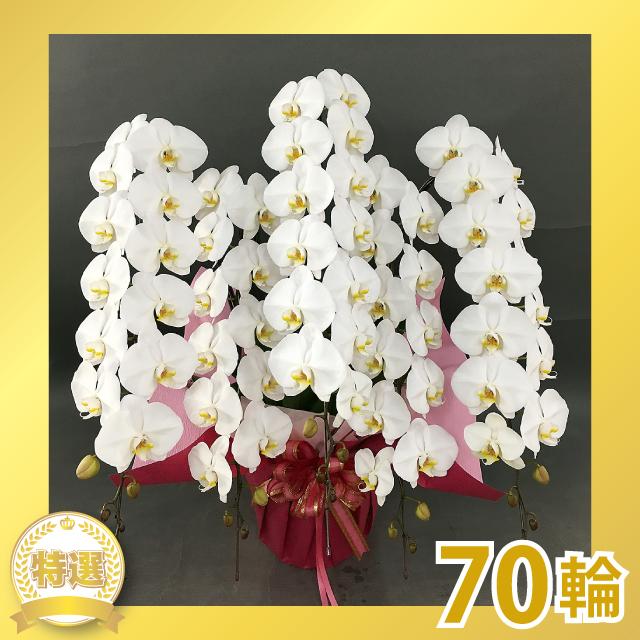 グランプリ大輪胡蝶蘭(5本立ち)