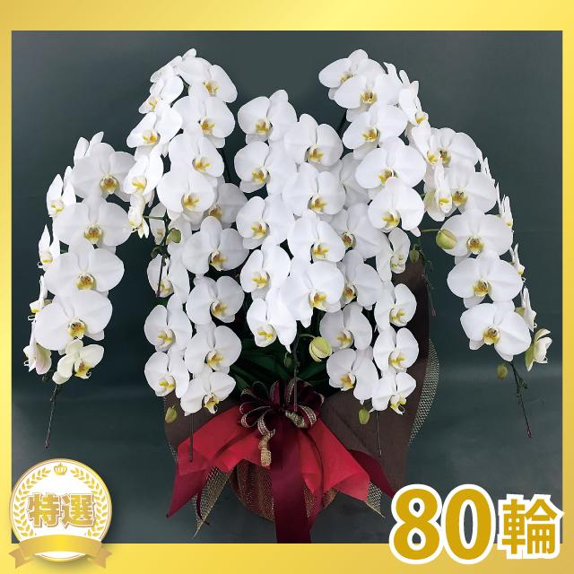 グランプリ大輪胡蝶蘭(7本立ち)