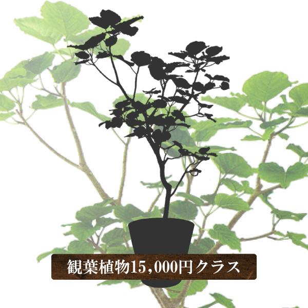 観葉植物15000円クラス