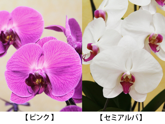 胡蝶蘭の色見本