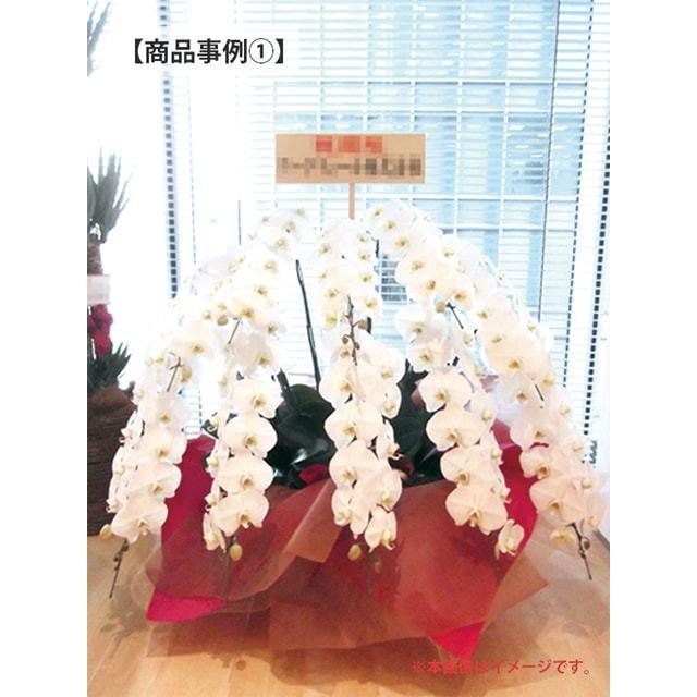 大輪胡蝶蘭事例10万円クラス