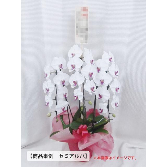 大輪胡蝶蘭事例1万5千円クラス