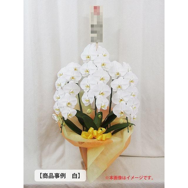 大輪胡蝶蘭事例2万円クラス