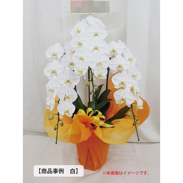 大輪胡蝶蘭事例2万5千円クラス