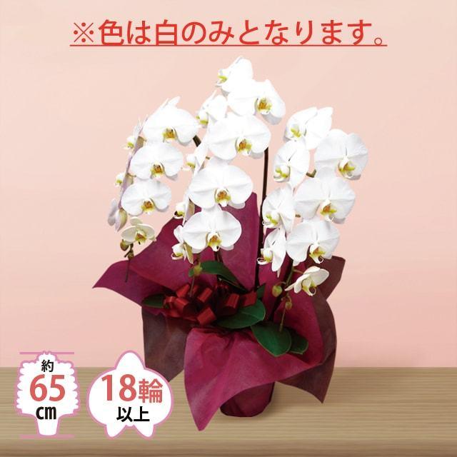 お急ぎ用大輪3本立ち胡蝶蘭15000円