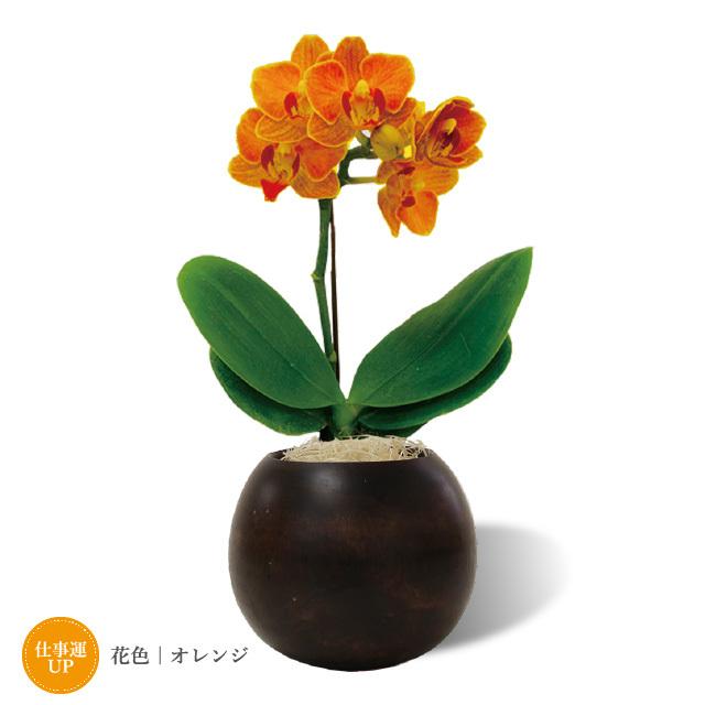 ミディ胡蝶蘭とマルコ