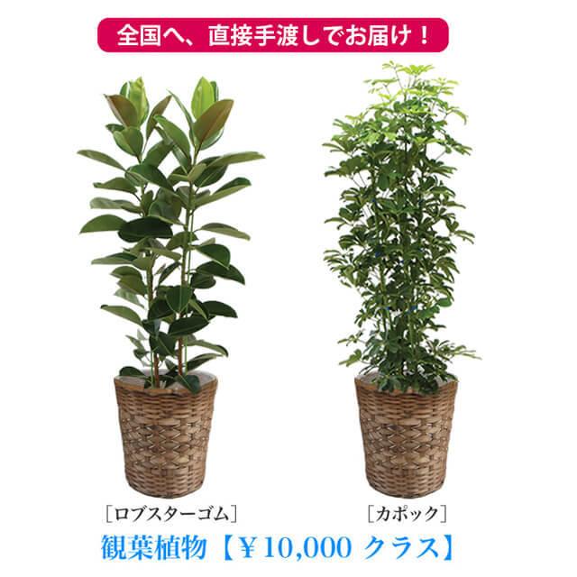 観葉10号1万円クラス