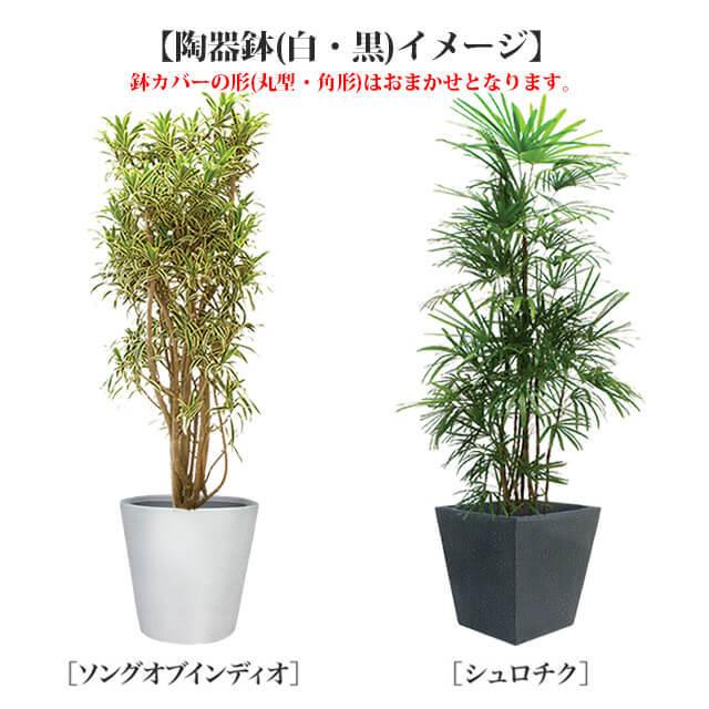 観葉10号2万円クラス陶器鉢