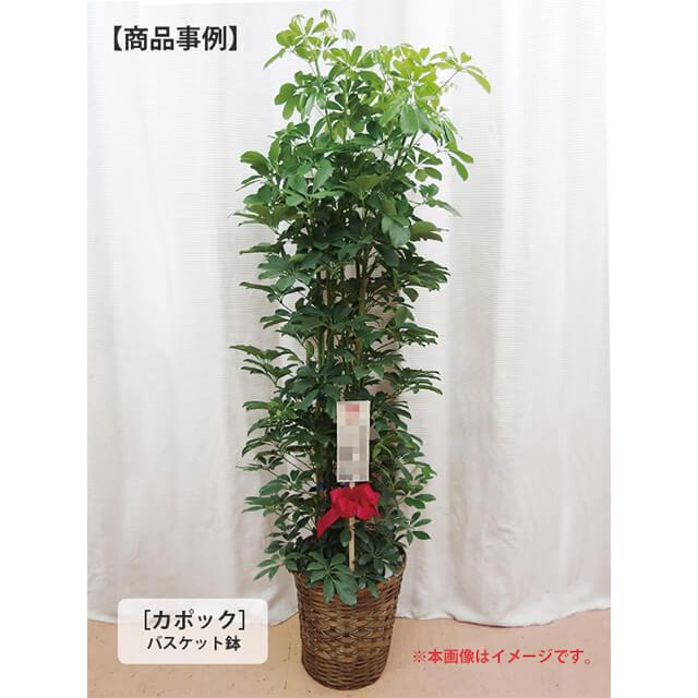 観葉植物事例1万円クラスカポック