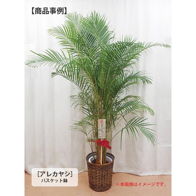観葉植物事例1万3千円クラスアレカ