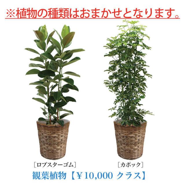 お急ぎ用観葉植物10号10000円