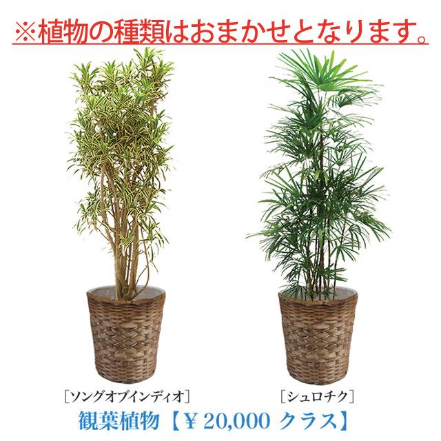 お急ぎ用観葉植物10号20000円