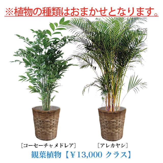 お急ぎ用観葉植物10号13000円