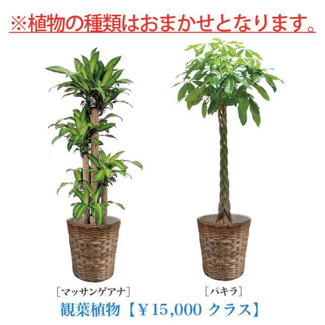 お急ぎ用観葉植物10号15000円