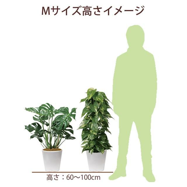 観葉Mサイズ高さ